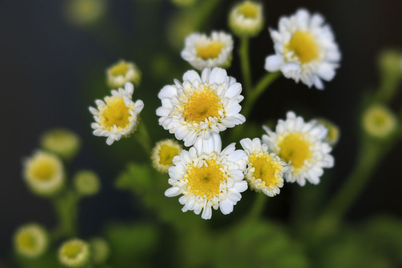Feverfew Flowers Flower Head Springtime Petal White Flowers Flower Freshness No People Plant Feverfew Herbal Medicine Nature Close-up Macro Macro Flowers Floral