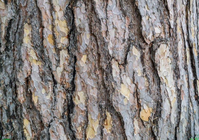 Black Pine Bark. Natural Tree Bark Texture Black Pine Pine Pinus Bark Cracks Form Industry Natural Nature Textured  Tree Tree Bark Tree Trunk Wood Background Bark Texture Brown Close-up Cracked Natural Condition Pattern Plant Bark Rough Structures Surface Texture Wood - Material Wooden