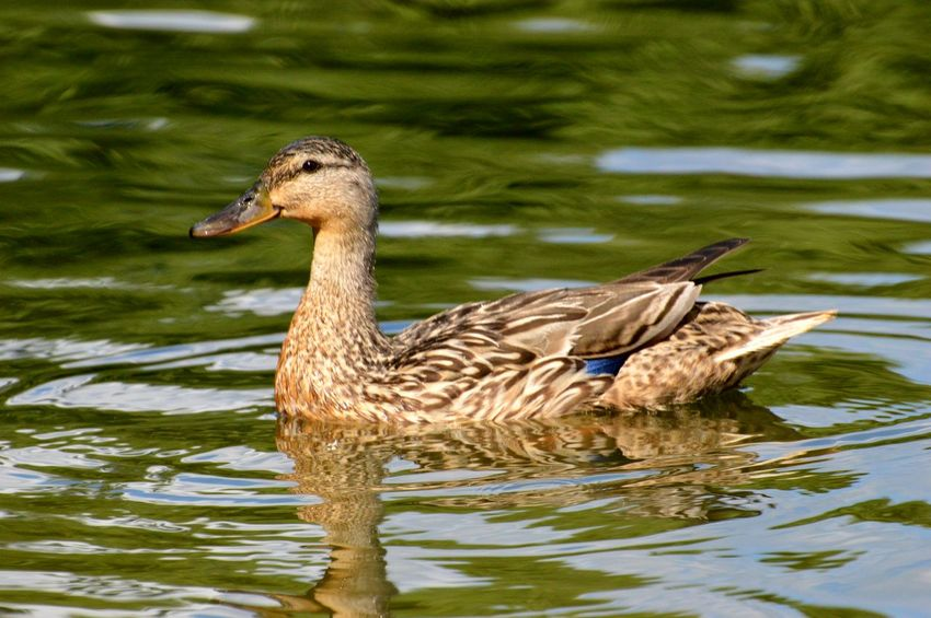 Animals In The Wild Animal Wildlife Bird One Animal Swimming Nature Day Outdoors Water Animal Themes Lake No People Close-up Mother Duck