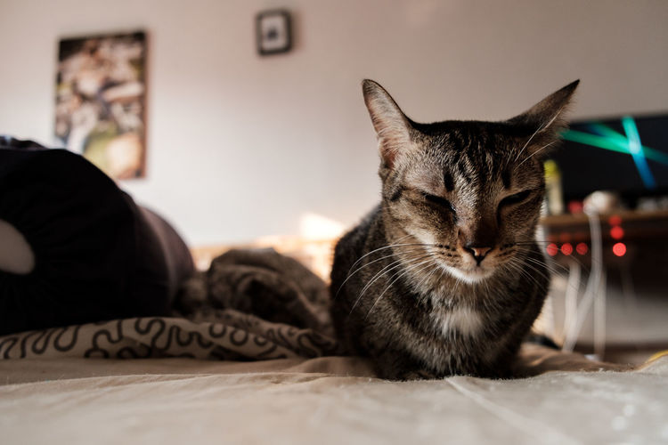 Domestic Pets Mammal Domestic Animals Domestic Cat Animal Cat Animal Themes One Animal Feline Indoors  Furniture Relaxation Bed Home Interior Vertebrate Focus On Foreground Close-up No People Bedroom Whisker