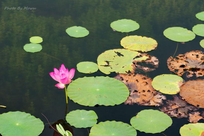 荷花 荷塘 荷香 Water Lily Floating On Water Lake Leaf Green Color No People Beauty In Nature Nature
