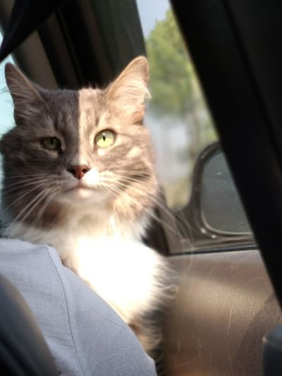 Pets Feline Domestic Cat Portrait Car Window Sitting Looking Through Window Close-up Whisker Cat Car Point Of View Car Interior