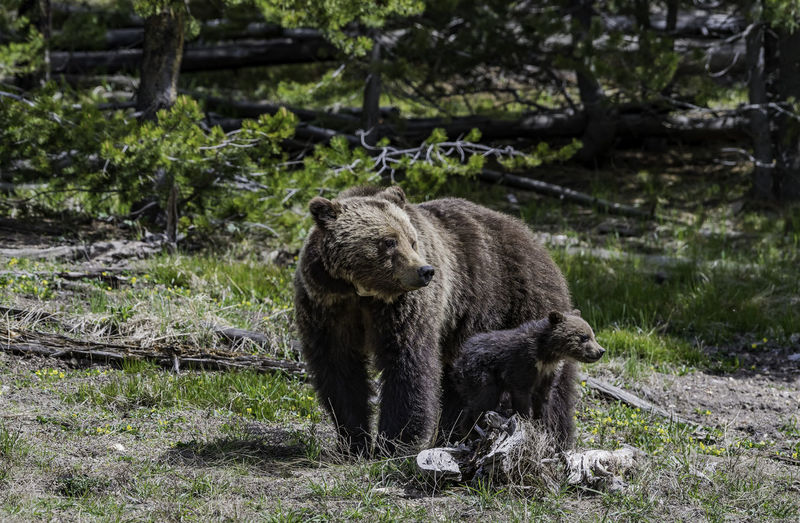 Two bears in the wild