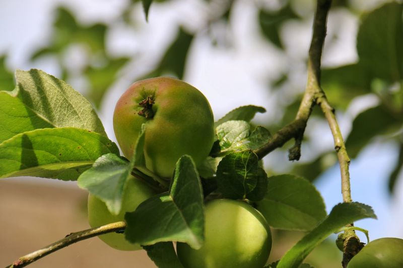 Apple Tree Apple - Fruit Green Color Nature Photography Close-up Selective Focus Taking Photos Enjoying Life Tümmlauer Koog Enjoying Natural Beauty Outdoor Photography Nahaufnahme