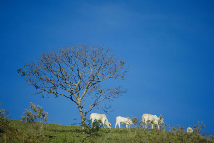 Cows Animal Animals Animals In The Wild Beauty In Nature Blue Boi Clear Sky Cow Cows Farm Animals Green Color Growth Landscape Nature No People Outdoors Sky Tranquil Scene Tranquility Tree Vaca