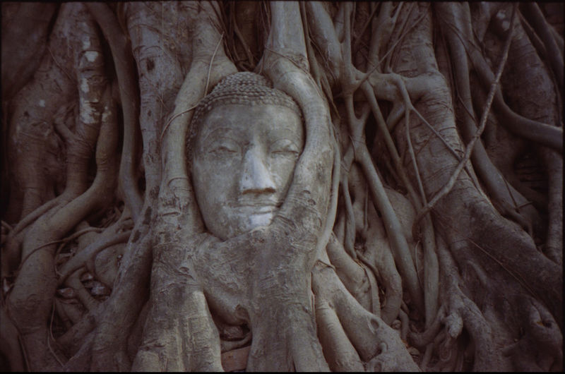 Head of statue in overgrown tree roots