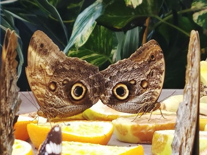 Butterfly - Insect Butterfly Animal Wing Butterfly Garden Victoria Canada Close-up Owl Eyes