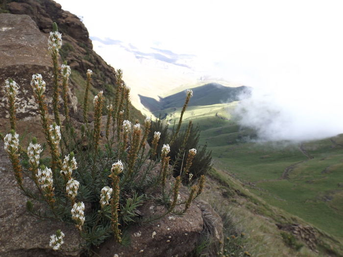 Fujifilm Backpacking Drakensberg, South Africa Hiking No Filter Needed Beauty In Nature Discovering New Things Drakensberg Drakensberg Hiking Flowers Growth Landscape No People White Flowers
