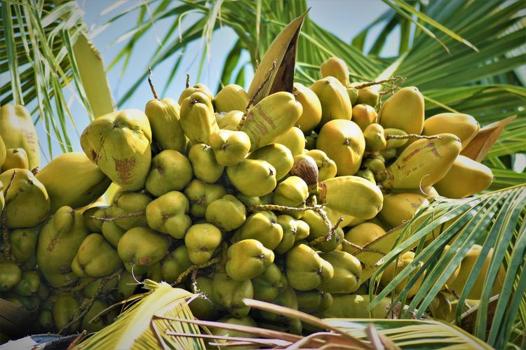 Kokosnuss Abundance Close-up Day Food Food And Drink Freshness Fruit Green Color Growth Healthy Eating Large Group Of Objects Leaf Nature No People Palm Tree Plant Plant Part Ripe Tree Tropical Fruit Wellbeing кокосовое масло ココナッツ 椰子