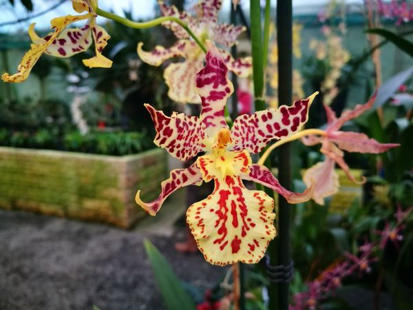 Plant Flower Flower Head Orchid Orchidflower Orchidee Orchid Flower Greenhouse Close-up