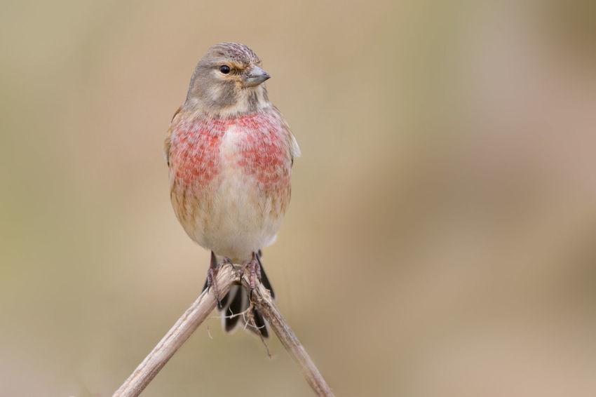 Linnet male in breeding colours Acanthis Cannabina Carduelis Cannabina Eurasian Linnet Haenfling Linnet Linotte Mélodieuse Pardillo Común Animal Themes Animal Wildlife Animals In The Wild Beauty In Nature Bird Close-up Day Male Nature No People One Animal Outdoors Red