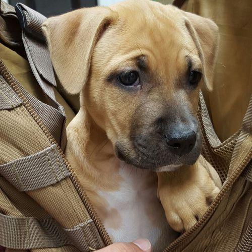 Puppy Pitbull Pitbullsofig MynameisLucky