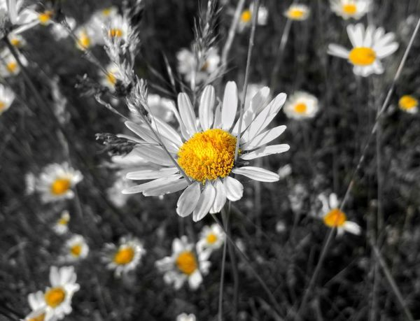 Flower Petal Fragility Nature Plant Uncultivated Flower Head Beauty In Nature Freshness Pollen Growth Yellow Summer Wildflower Outdoors Close-up No People Springtime Day Daisy Daisy Flower Daisy Close Up Daisy Flower Head Daisy Flowers Paint The Town Yellow