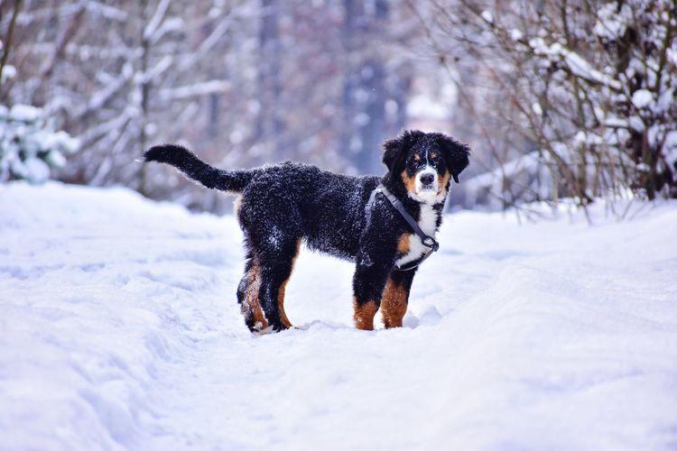 Bernese mountain dog puppy in winter forest in ukraine