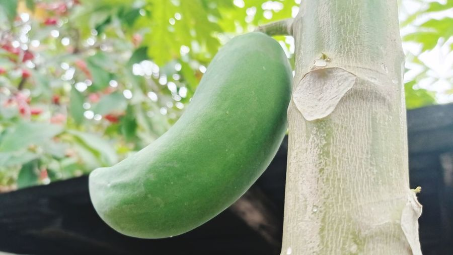 Close-up of green fruits on tree