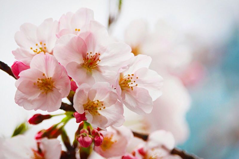 Flowers Spring Sakura Focus