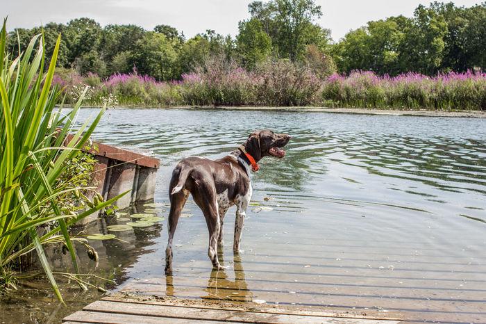 Barley ramped German Shorthair Pointer  Boat Ramp Dog German Shorthaired Pointer No People One Animal Pets Purple Flowers Riverscape Water