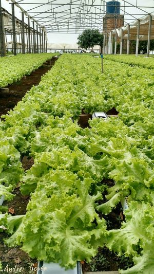 Hidroponia - Matogrosso Alface Horta Horticulture