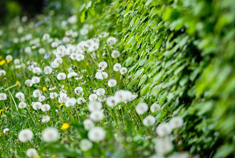 A beautiful fresh green springtime meadow with flowering dandelions as well as blowballs and a growing hedge at the right. Selective Focus Green Color Plant Beauty In Nature Freshness Day Flower Flowering Plant Growth Close-up Fragility Nature No People Vulnerability  Water Drop Outdoors Field Land Springtime Purity Dew Flowerbed Dandelion Blowball Dandelion Seed Seed Meadow Grass Green Color Flowers In Bloom Flowering Plant Spring Hedge Yellow Color Floral Nature Natural Beauty Environment Park Garden Gardening Weed City Europe Germany Bavaria Nürnberg Nuremberg