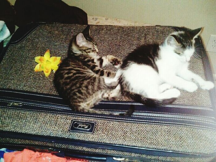 They didn't want me to leave Kitten Sleeping Cat Suitcase Packing Flower Thoughtful Calico Cat Tabby Cat Leaving Home Journeyphotography Cahnge Of Pace Hard Choice Pet Bed At Home Home