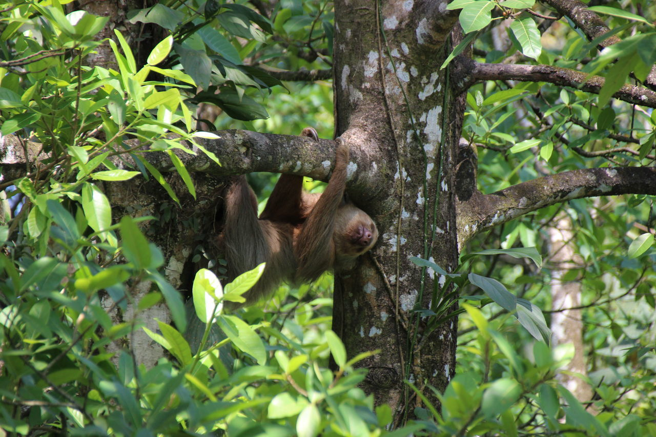 tree, animals in the wild, animal wildlife, mammal, primate, nature, animal themes, hanging, one animal, monkey, no people, branch, outdoors, day, green color, climbing, endangered species, full length