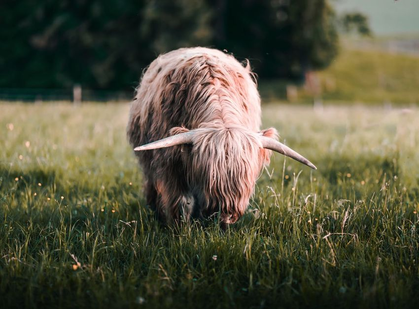 Animal Animal Hair Animal Head  Animal Themes Beautiful Close-up Cow Day Dog Domestic Animals Grass Highland Highlandcattle Hochlandrinder Mammal No People One Animal Pets Portrait Relaxation Relaxing Togetherness Two Animals Zoology