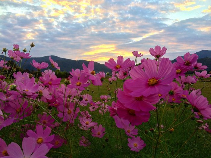Beauty In Nature Flower Sky Pink Color Sunset No People Kyoto Japan Autumn🍁🍁🍁 日本 京都 コスモス 秋桜 Cosmosflower 秋 日本の京都 広沢の池 歴史的風土特別保存地区