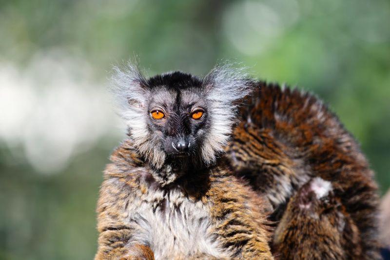 Dark lemur