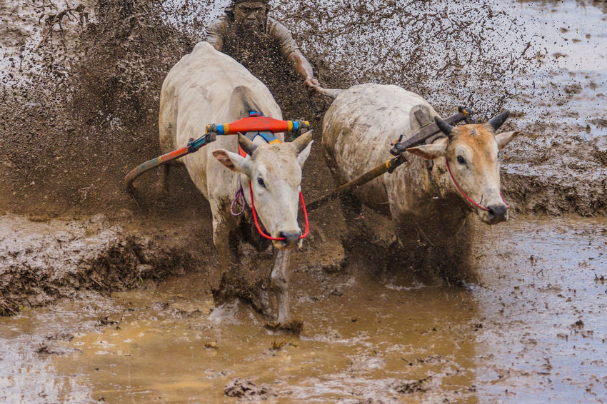 Blurry image of Pacu Jawi Adventure Blurry Day Domestic Animals Endurance Endurance Racing Herbivorous Livestock Mammal Nature Outdoors Pacu Jawi Pet Collar Race Showing Imperfection The Great Outdoors - 2016 EyeEm Awards Adventure Club Home Is Where The Art Is Two Is Better Than One