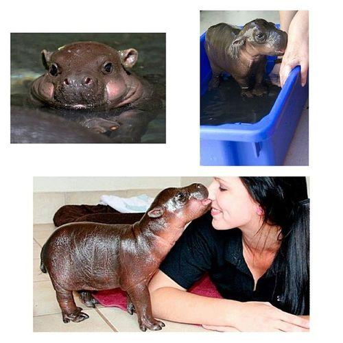 JunePhotoChallenge Favoriteanimal Notmypics Nohipposaroundhere socute hippo babyhippo day4