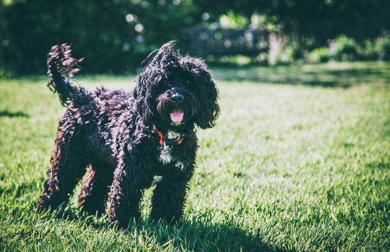 Black poodle standing on grassy field