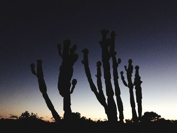 Lost In The Landscape Sunset Tranquility Sky Clear Sky Saguaro Cactus Evening Light Silhouette Sunlight