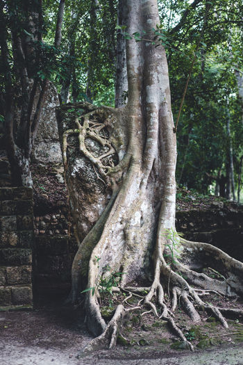 Tree Plant Tree Trunk Trunk Forest Growth Land Nature Tranquility Day Beauty In Nature No People Plant Part Outdoors WoodLand Root Tranquil Scene Scenics - Nature Environment Green Color Rainforest Djungle Jungle