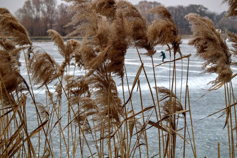 Reeds growing against frozen lake