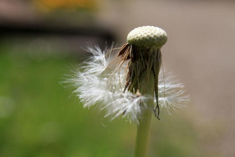 Bio Blume Kräuter Löwenzahn Natur Nature Pflanzen Plant Samen Vergänglichkeit Vermehrung