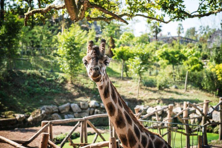 Portrait of giraffe at pairi daiza