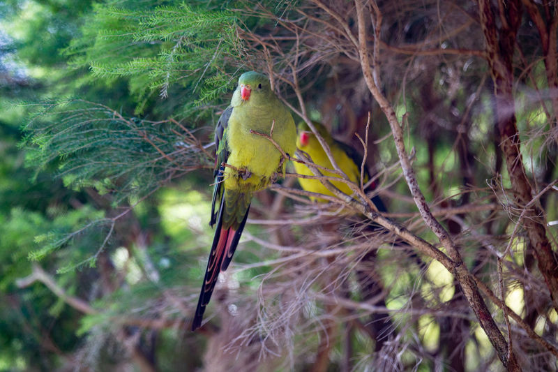 Animal Themes Animal Bird Animal Wildlife Vertebrate One Animal Animals In The Wild Perching Tree Branch Plant Nature No People Day Outdoors Yellow Beauty In Nature Focus On Foreground Forest Selective Focus Parrot Lover