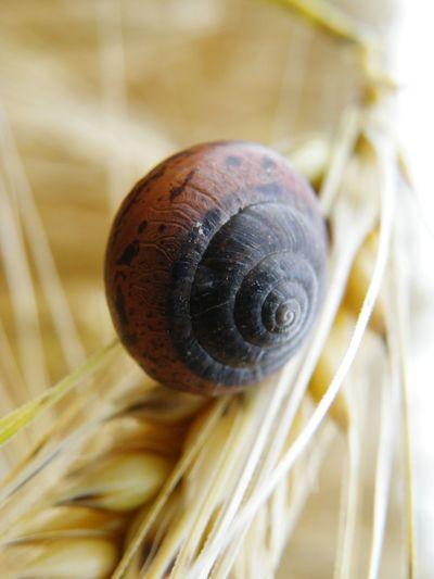 Schnecke Schnecken Schneckenhaus Snails Snails🐌 Snail Getreide Getreidefeld Feld Korn Kornfeld