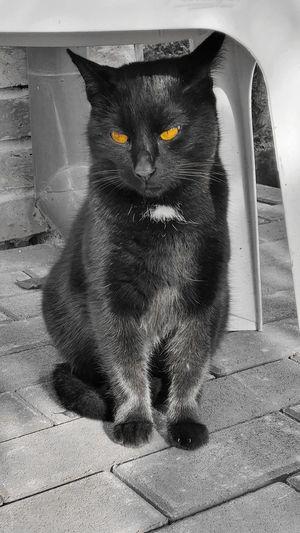 Yellow eyes Pet