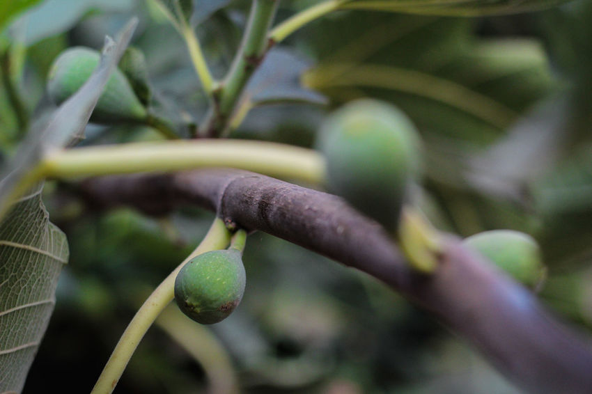 fig Morocco Morocco Food Beauty Beauty In Nature Branch Close-up Day Fig Fig Tree Focus On Foreground Food Freshness Fruit Fruits Green Color Growth Leaf Nature Nice No People Plant Plant Part Plant Stem Selective Focus Tree
