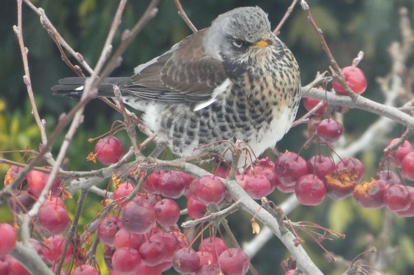 Fieldfare eating crab apples Snow Winter Crab Apples Fieldfare Eating Berries Fieldfare EyeEm Selects One Animal Animals In The Wild Bird Animal Themes Day Nature Perching No People Focus On Foreground Beauty In Nature Branch Growth Outdoors Tree Animal Wildlife Close-up Food Freshness