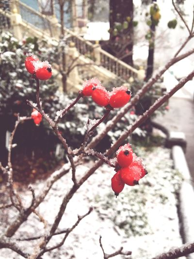 Snow Berries ❄️🍒 Red Fruit Growth Nature Close-up Freshness Plant Focus On Foreground Beauty In Nature Outdoors Tree Snow ❄ Nature_collection Nature Photography Naturelovers