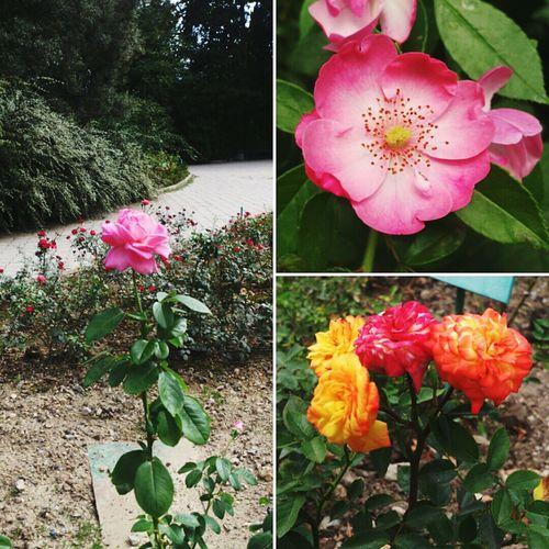 So much beautiful roses in Nikita Botanical Gardens Freshness Flower Beauty In Nature Botany Plant Flower Head Nature Blume Flowers Roses