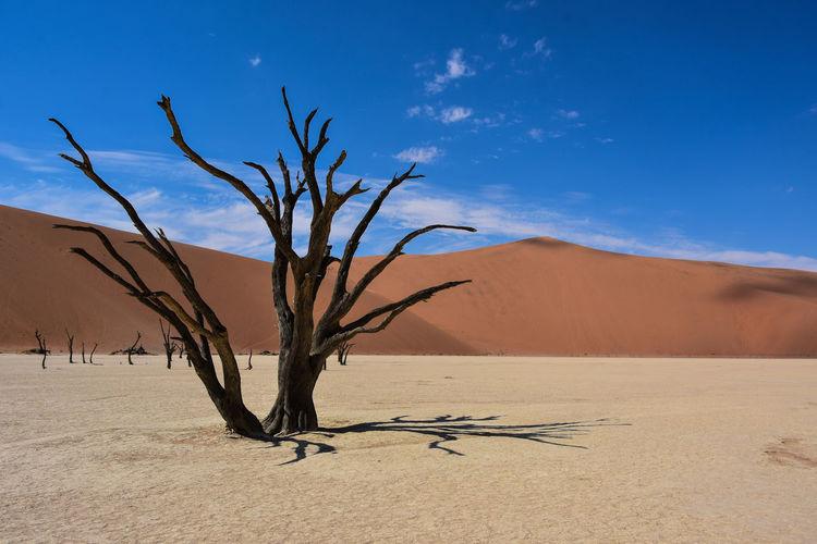 Bare tree at desert against blue sky