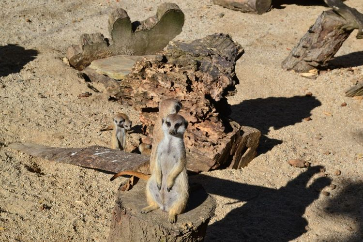 High angle view of group of meerkats