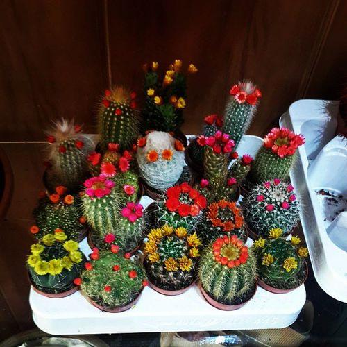 Lovely Cactuse s