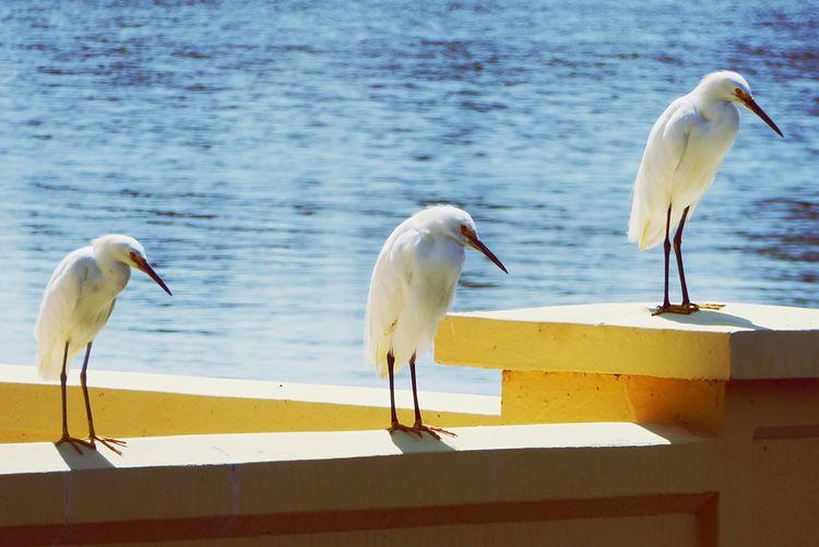 The three amigos! Denver Colorado Citypark Summertime Lake Panasonic  Digitalcamera Leicalens American Colorado Photography Birds Bird Photography Birds_collection Birds Of EyeEm  Waterlife