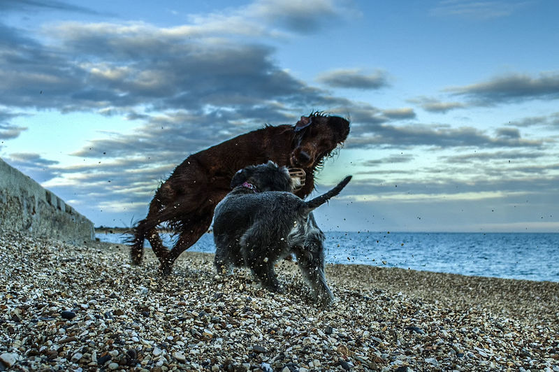 Fun on the beach Pets Dogs Red Setter Domestic Animals Beach Sea Sky Eastney Hampshire  England Water Sea Pets Beach Dog Sand Sky Horizon Over Water Cloud - Sky