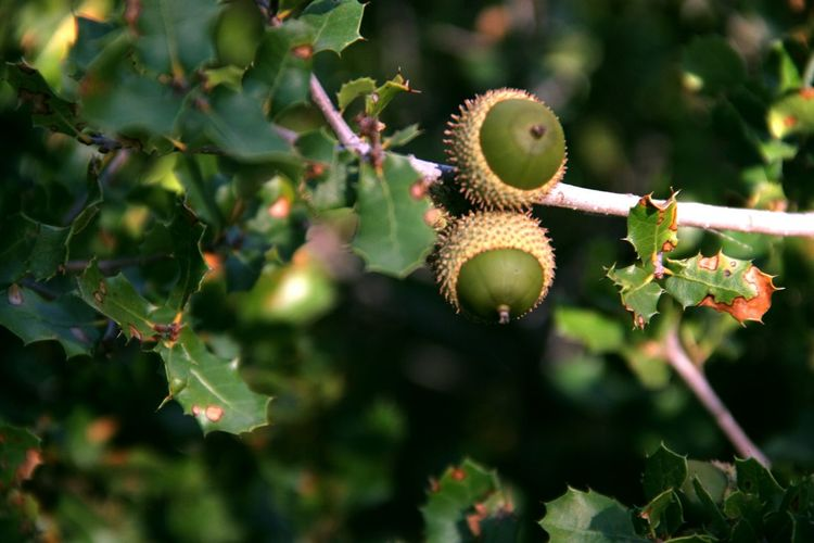 Low angle view of holm oak acorns