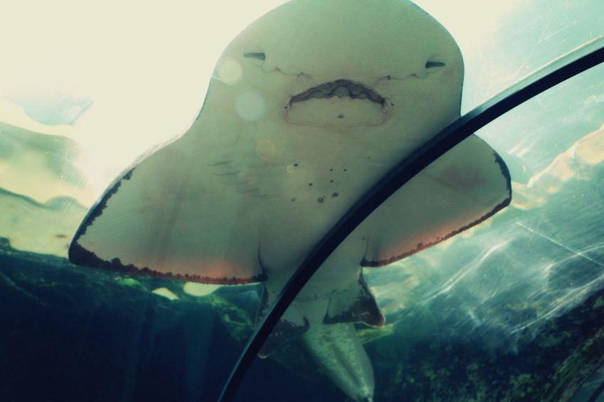 Rochen im Sealife Sydney, Australien Sydney Sydney, Australia Sealife Darlingharbour Rochen Aquarium Aquarium Life Aquariumlife Aquariumfish Sea Life Aquarium At The Aquarium